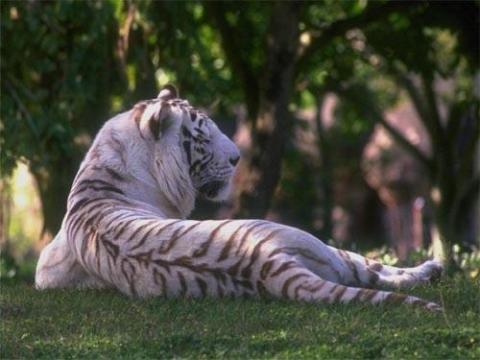 Белый тигр - Вера Владимировна Пырьева