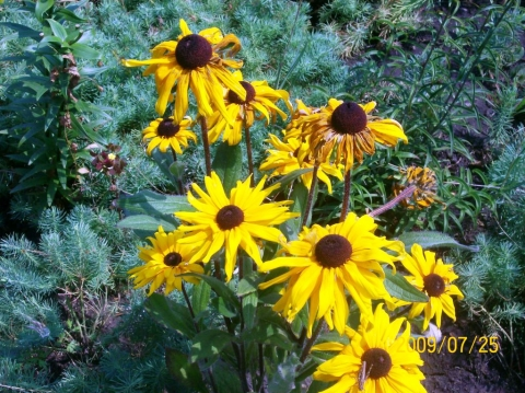 Желтая эхинацея - Городские цветы
