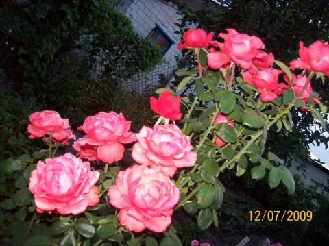 розовое кружево - Городские цветы