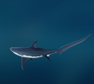 Представитель отряда акул, отличающихся небольшими размерами и характерными наростами в области хвос - Евгений Николаевич Мальцев