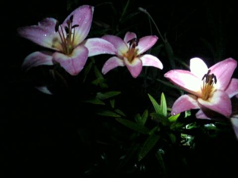 лилии в ночи