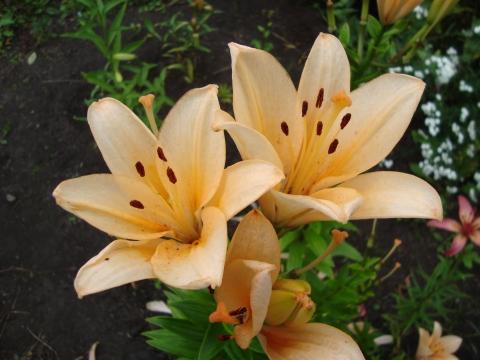 лилии - Городские цветы