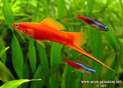 Эта рыба обитает в Центральной Америке, Южной Мексике и Гватемале. Встречается как в горных реках с  - Евгений Николаевич Мальцев