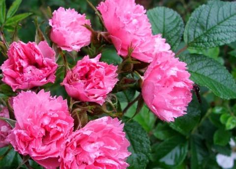 Гибрид розы Пинк Гротендорст
