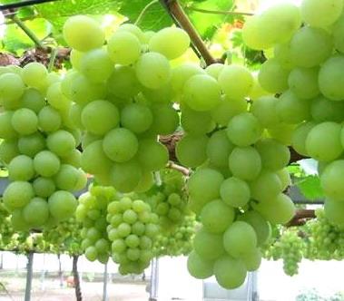Виноград грозди