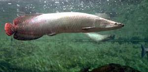 Эта рыба известнав Бразилии под названием пираруку и является также одной из крупнейших современных  - Евгений Николаевич Мальцев