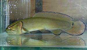 Для рыб этого семейства характерно наличие многих особенностей, свойственных костистым рыбам, но одн - Евгений Николаевич Мальцев