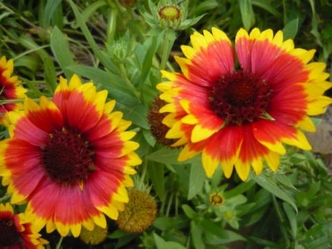 Гайлардия - Городские цветы