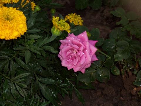 Роза с росой - Городские цветы