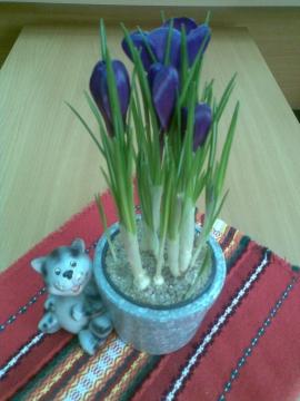 крокусы - Городские цветы