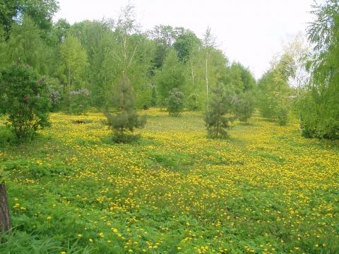 Рахманиново. Одуванчики - Городские цветы