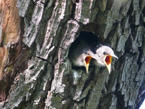 Птенцы скворца в гнезде