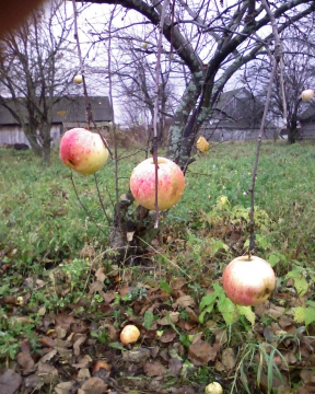 Последние яблоки...