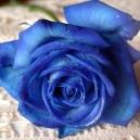Синяя роза..........