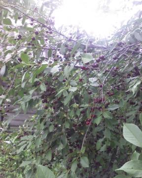 И ломилися ветви от вишни..