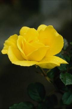 Желтая роза - Галина Георгиевна Черменева