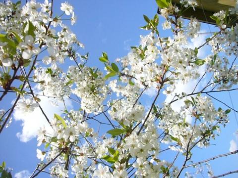 Облако в цвету вишни - Фото клуб