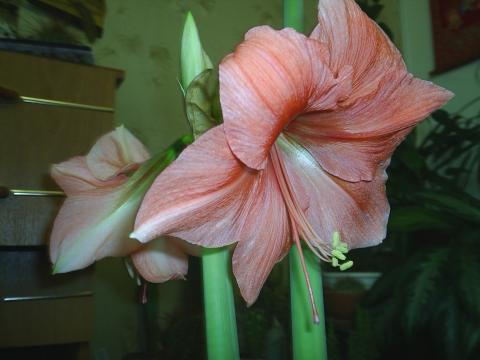Амариллис - Городские цветы