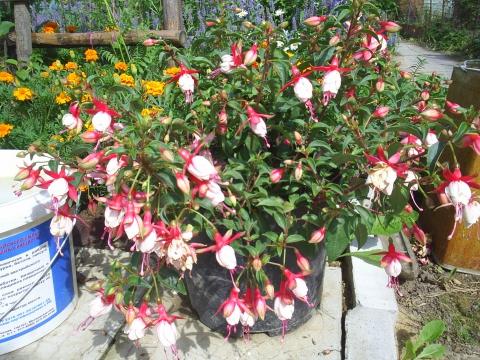 Фуксия - Городские цветы