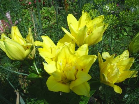 Лилия - Городские цветы