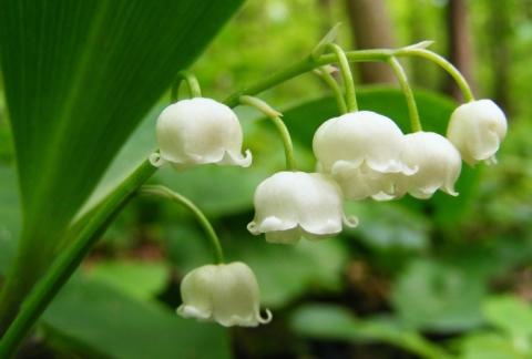 Цветок весны -ландыш - Александр Николаевич Комлев