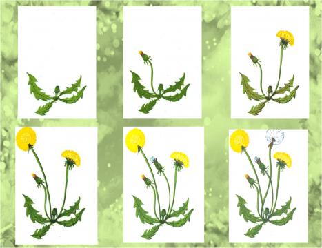 Как растет одуванчик в картинках