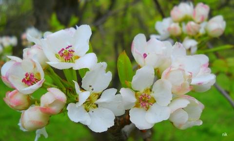 Яблоня цветёт!