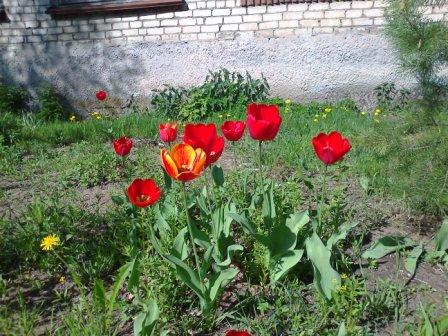 Тюльпаны - Православная гимназия