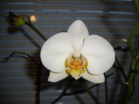 Моя орхидея зацвела!