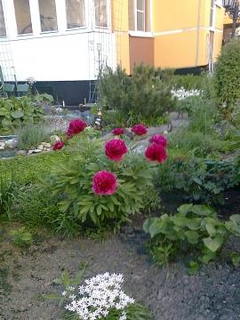 Пионы расцвели во дворе моего дома - Людмила Александровна Чупина