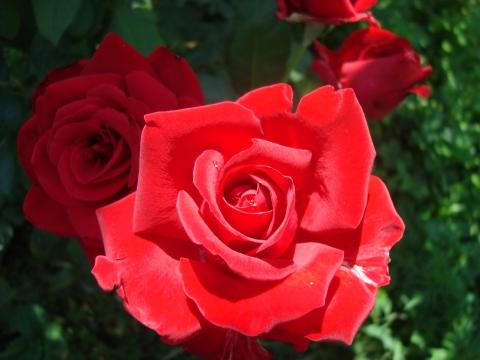Мои любимые розы...