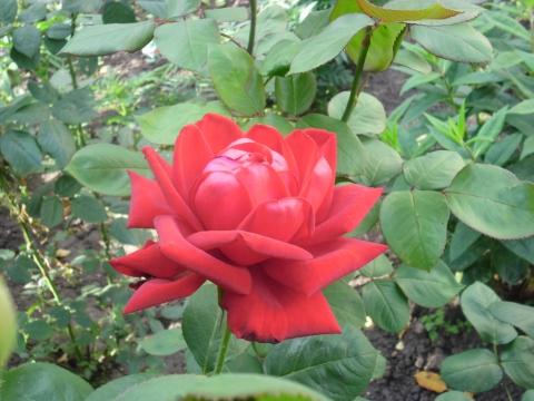 26 июня 2011, бордовая роза. - Олег Викторович Кривошеин