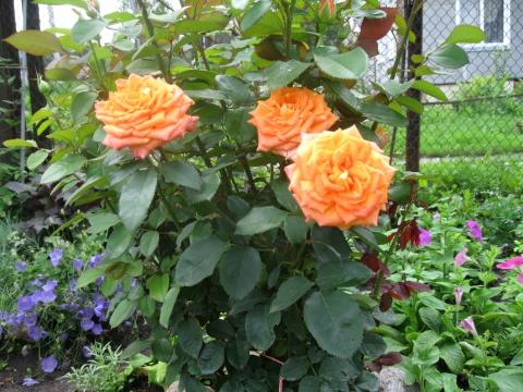 мои розы - Елена Юрьевна Мушкадинова