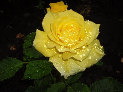 Роза жёлтая после дождя - Олег Викторович Кривошеин