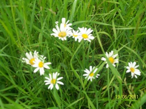 ромашки в поле