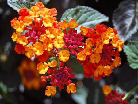 домашнее цветы фото