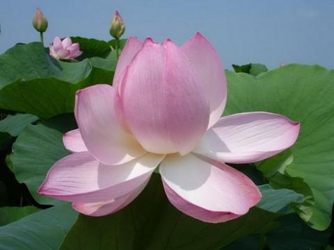 А ещё в августе цветёт лотос...