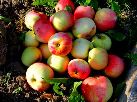 К Яблочному Спасу