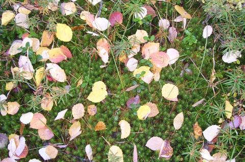 Ковёр из листьев