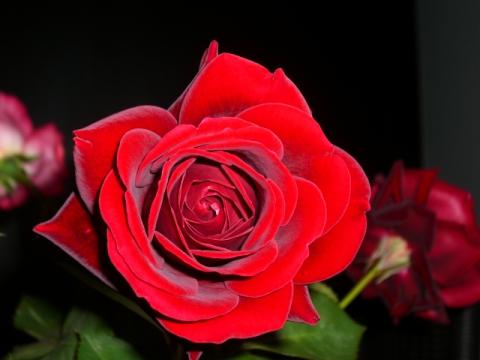 Роза на черном