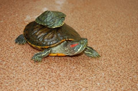 Покатай меня моя большая   черепаха - Юлия Валентиновна Гелездинова