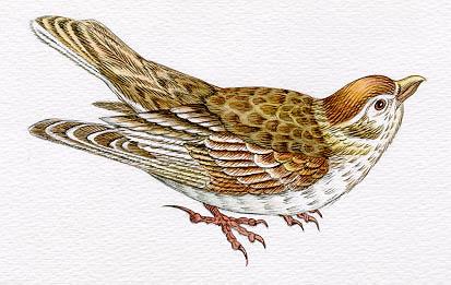Жаворонки  породистая птица