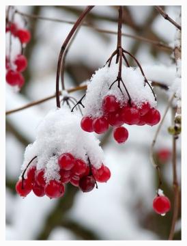Гроздья калины в снегу
