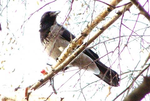 Ворона с курьей ножкой