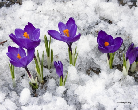 Крокусы - бесстрашные предвестники весны