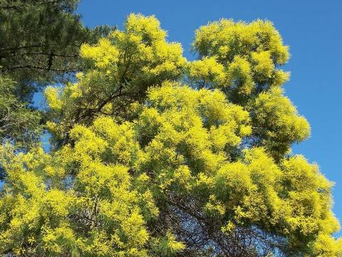 Бобовое дерево