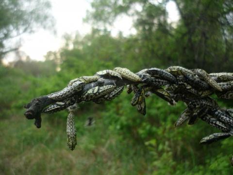 Куколка бабочки-капустницы - Ирина Федоровна Малыхина