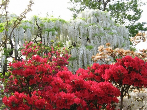 В парке цветов Асикага. Япония