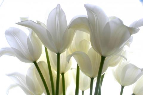 Белые тюльпаны - Галина Александровна Орлова