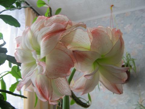 Махровая лилия - Надежда Александровна Петрова